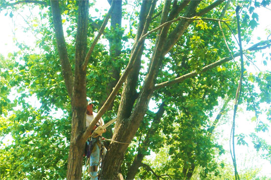 Tree Thinning Service in Louisville